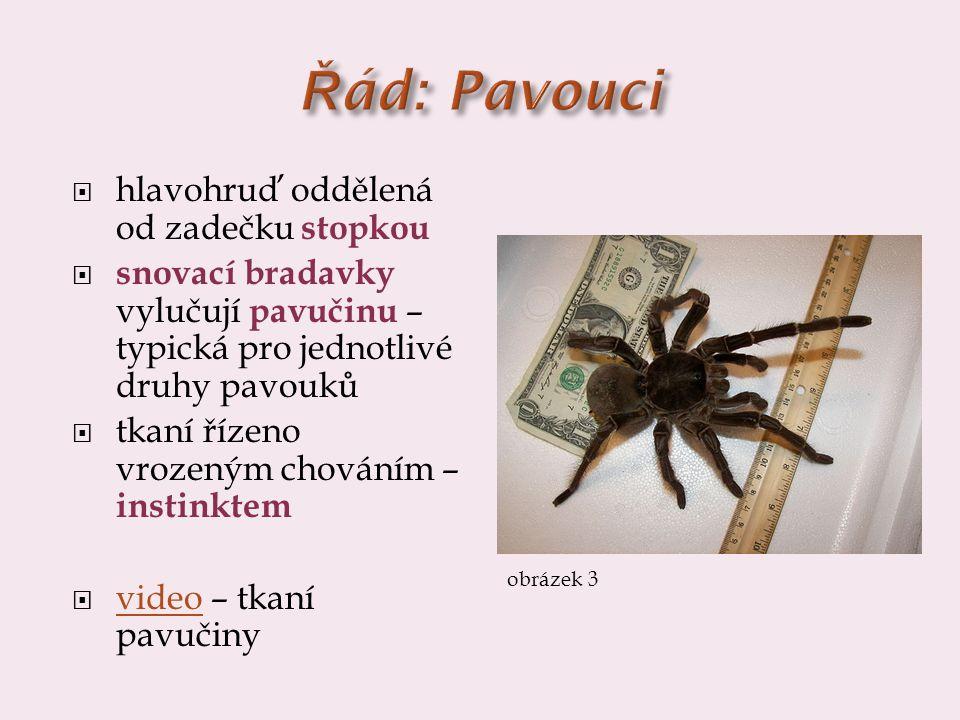  hlavohruď oddělená od zadečku stopkou  snovací bradavky vylučují pavučinu – typická pro jednotlivé druhy pavouků  tkaní řízeno vrozeným chováním – instinktem  video – tkaní pavučiny video obrázek 3