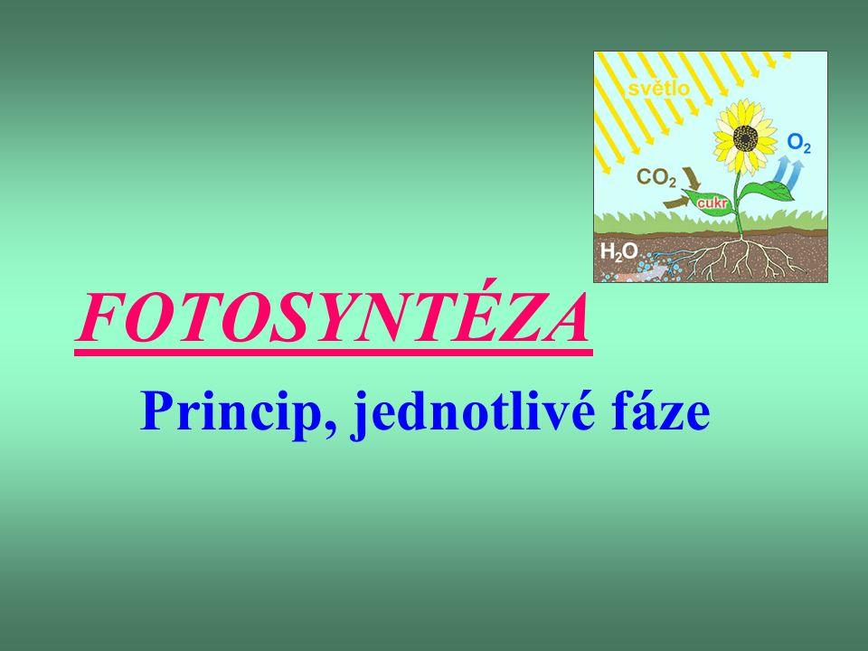 FOTOSYNTETICKÉ PIGMENTY -chlorofyl a – modrozelený -chlorofyl b – žlutozelený + karoteny, xantofyly – žluté a oranžové zbarvení