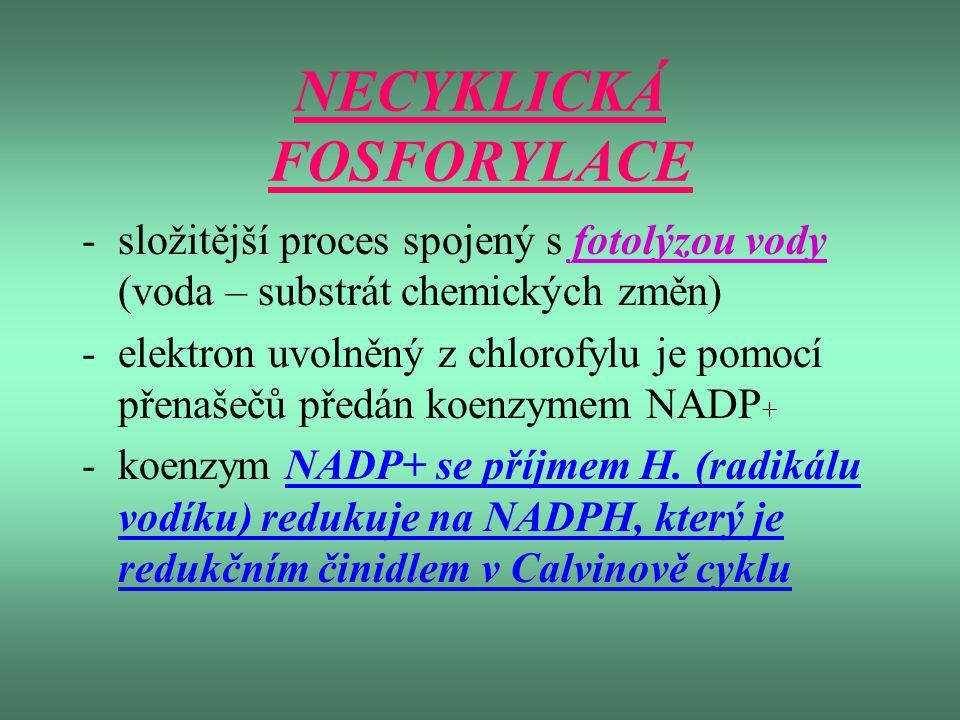 NECYKLICKÁ FOSFORYLACE -složitější proces spojený s fotolýzou vody (voda – substrát chemických změn) -elektron uvolněný z chlorofylu je pomocí přenaše