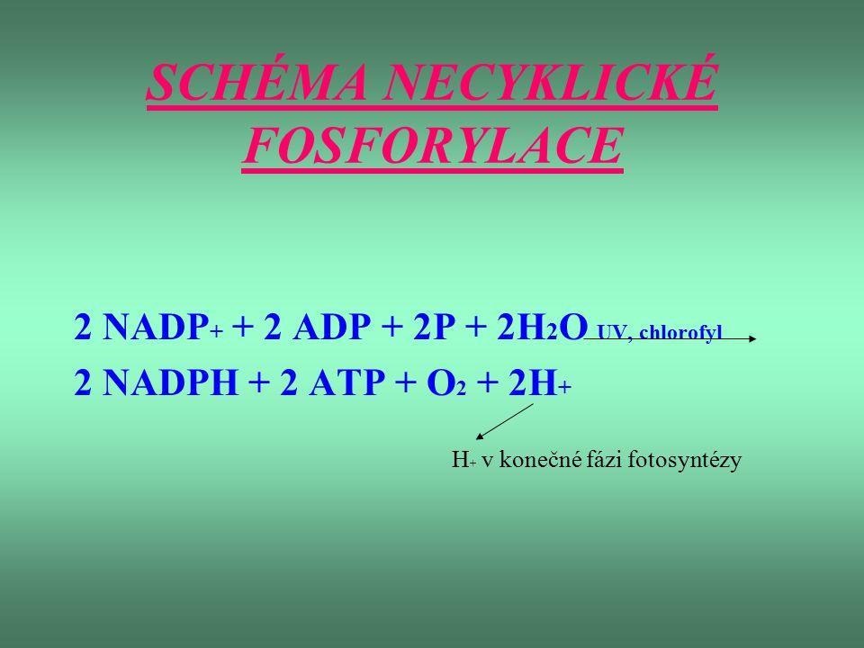SCHÉMA NECYKLICKÉ FOSFORYLACE 2 NADP + + 2 ADP + 2P + 2H 2 O UV, chlorofyl 2 NADPH + 2 ATP + O 2 + 2H + H + v konečné fázi fotosyntézy
