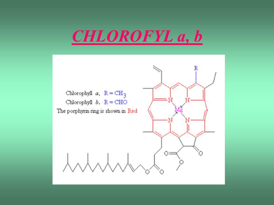 CHLOROFYL a -nejdůležitější fotosyntetický pigment -adsorbuje z viditelné oblasti světla červené a modrofialové záření