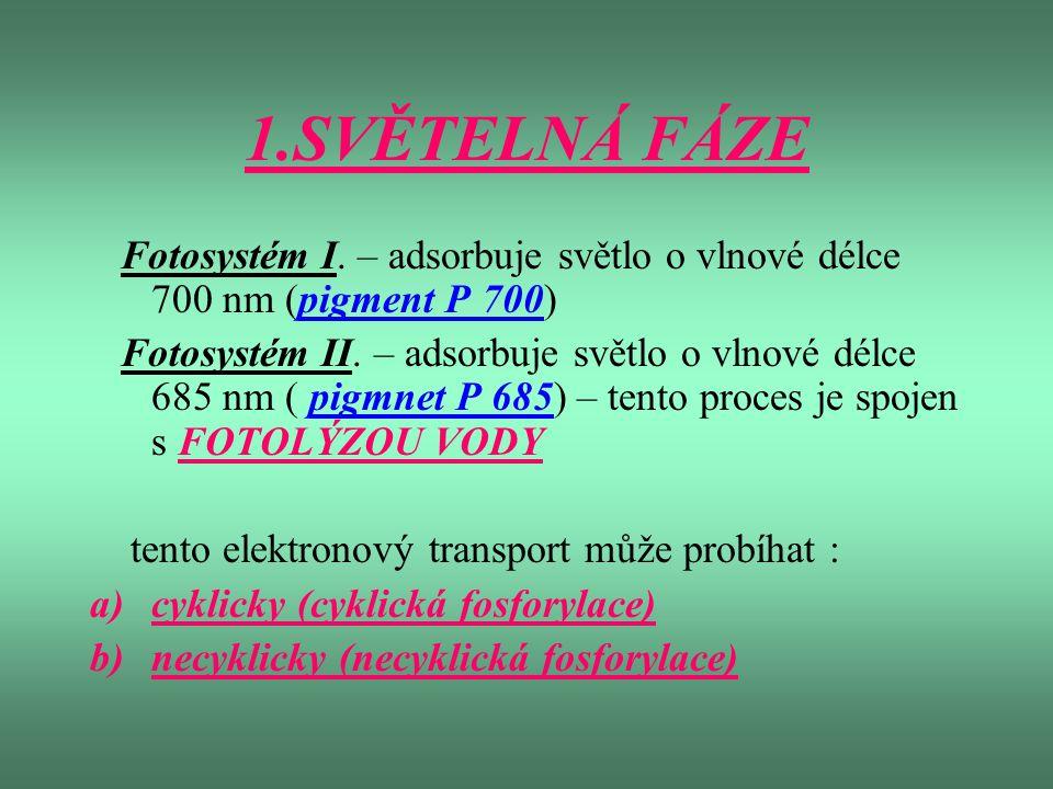 1.SVĚTELNÁ FÁZE Fotosystém I. – adsorbuje světlo o vlnové délce 700 nm (pigment P 700) Fotosystém II. – adsorbuje světlo o vlnové délce 685 nm ( pigmn