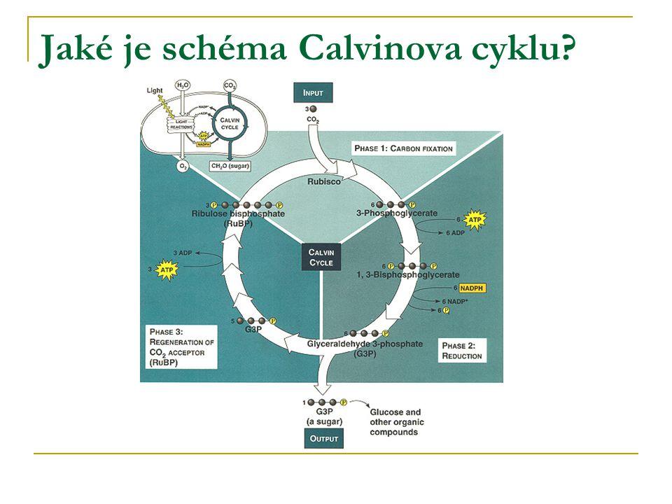 Jaké je schéma Calvinova cyklu?