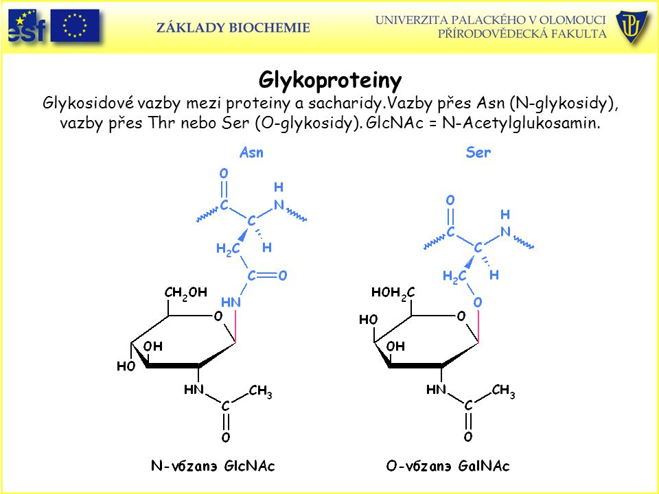 Glykoproteiny Glykosidové vazby mezi proteiny a sacharidy.Vazby přes Asn (N-glykosidy), vazby přes Thr nebo Ser (O-glykosidy). GlcNAc = N-Acetylglukos