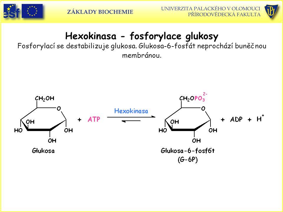 Hexokinasa - fosforylace glukosy Fosforylací se destabilizuje glukosa. Glukosa-6-fosfát neprochází buněčnou membránou.