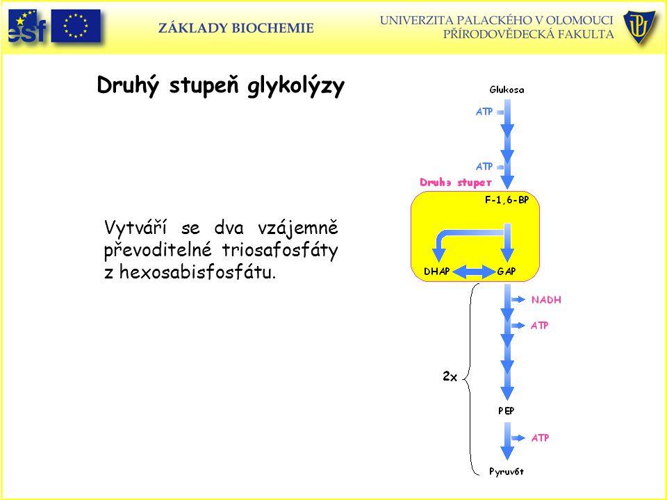 Druhý stupeň glykolýzy Vytváří se dva vzájemně převoditelné triosafosfáty z hexosabisfosfátu.