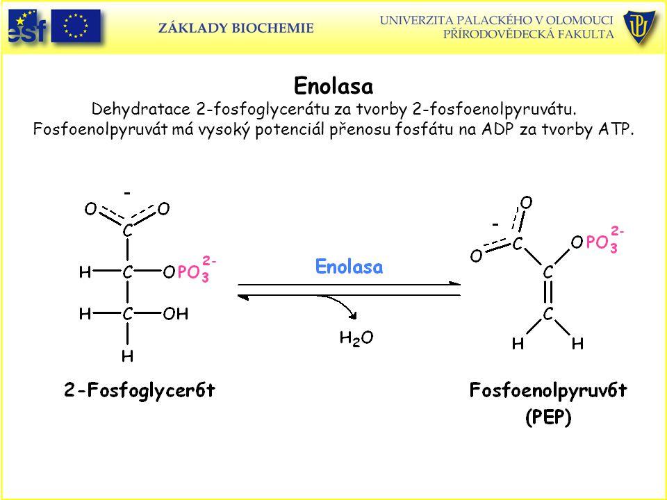Enolasa Dehydratace 2-fosfoglycerátu za tvorby 2-fosfoenolpyruvátu. Fosfoenolpyruvát má vysoký potenciál přenosu fosfátu na ADP za tvorby ATP.