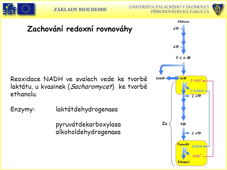 Zachování redoxní rovnováhy Reoxidace NADH ve svalech vede ke tvorbě laktátu, u kvasinek (Sacharomycet) ke tvorbě ethanolu. Enzymy:laktátdehydrogenasa
