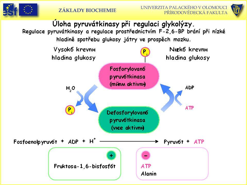 Úloha pyruvátkinasy při regulaci glykolýzy. Regulace pyruvátkinasy a regulace prostřednictvím F-2,6-BP brání při nízké hladině spotřebu glukosy játry