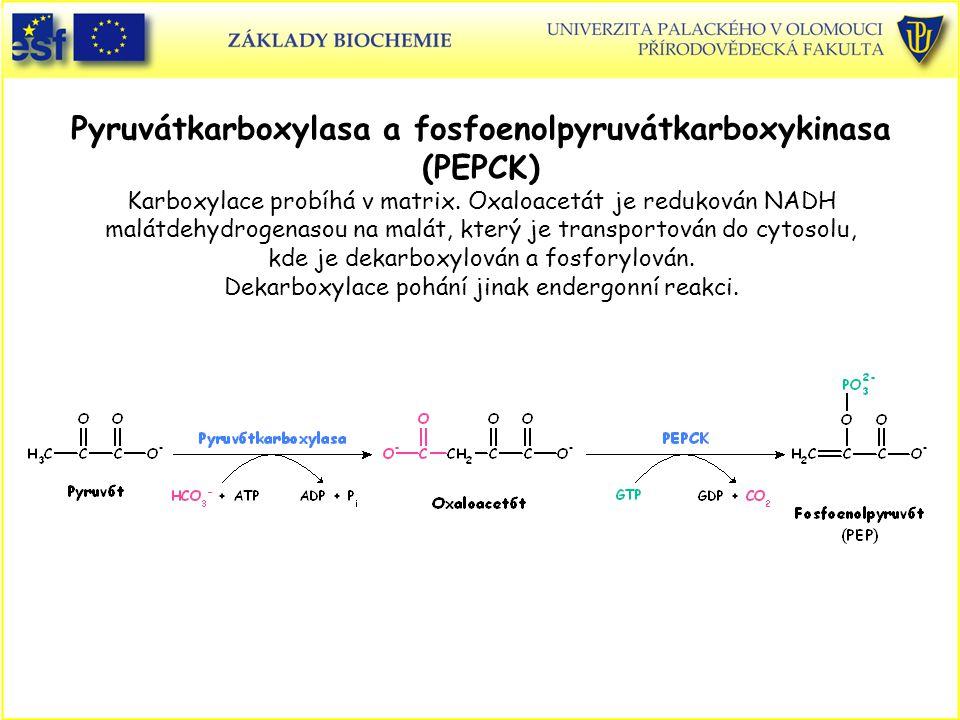 Pyruvátkarboxylasa a fosfoenolpyruvátkarboxykinasa (PEPCK) Karboxylace probíhá v matrix. Oxaloacetát je redukován NADH malátdehydrogenasou na malát, k