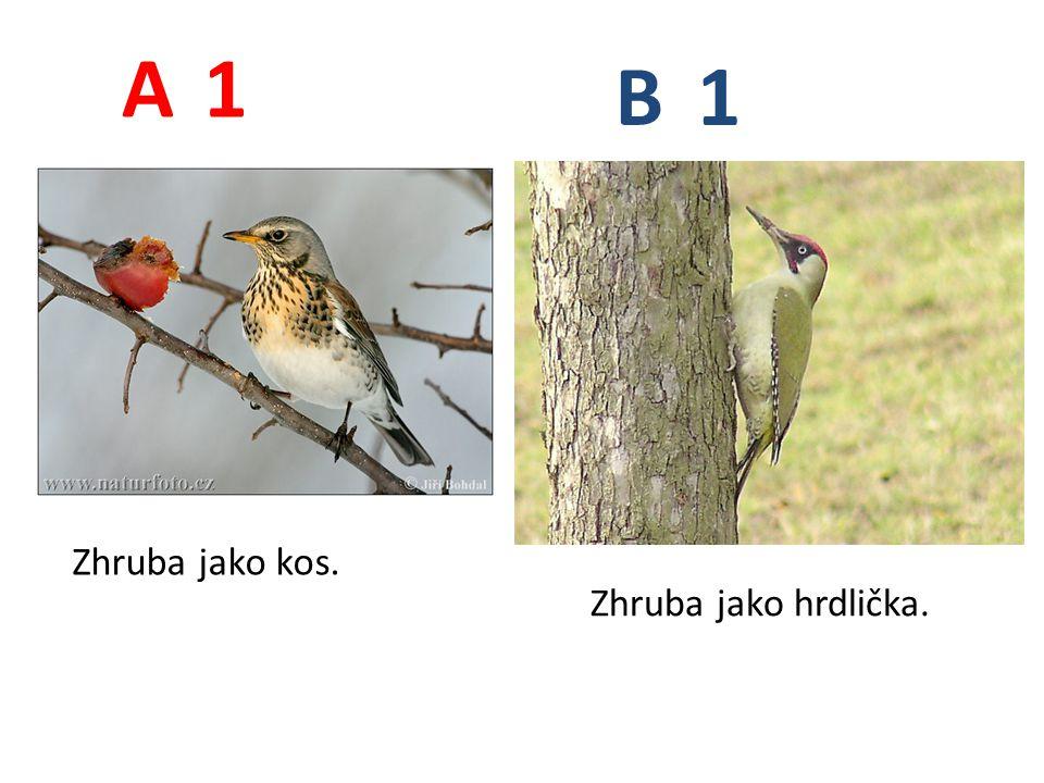 1 1 A B Zhruba jako kos. Zhruba jako hrdlička.