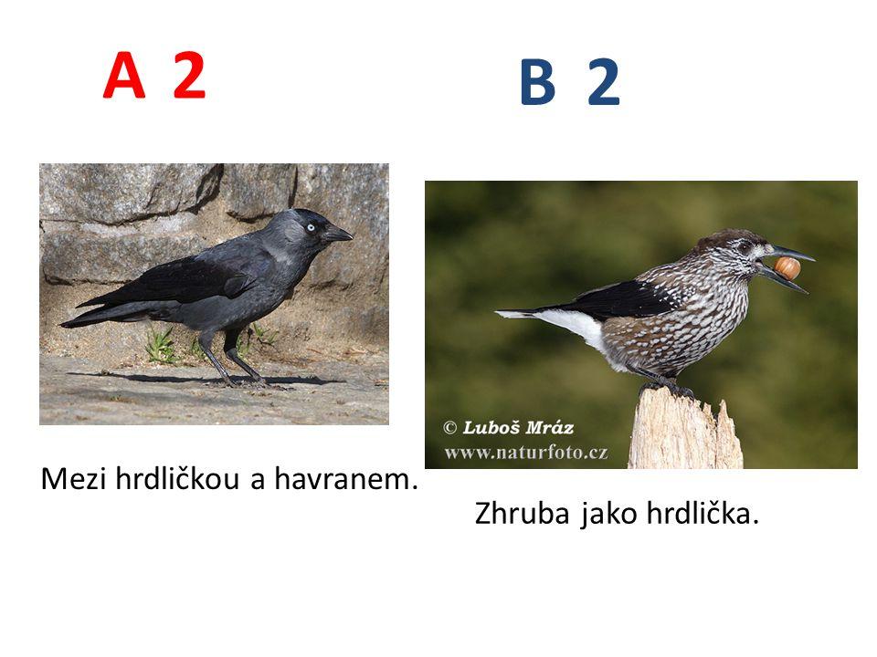 2 2 A B Mezi hrdličkou a havranem. Zhruba jako hrdlička.