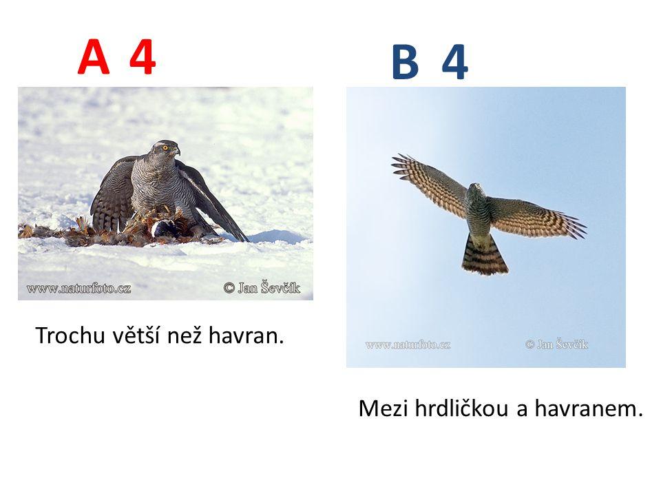 4 4 A B Trochu větší než havran. Mezi hrdličkou a havranem.