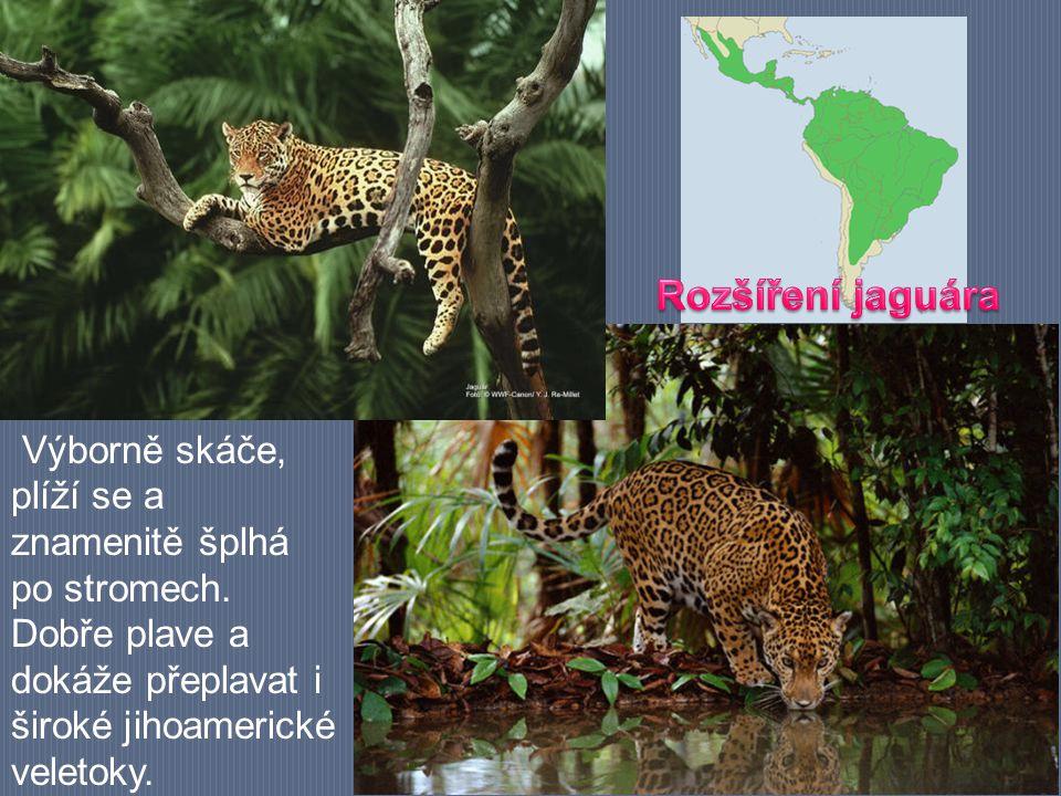 Výborně skáče, plíží se a znamenitě šplhá po stromech. Dobře plave a dokáže přeplavat i široké jihoamerické veletoky.