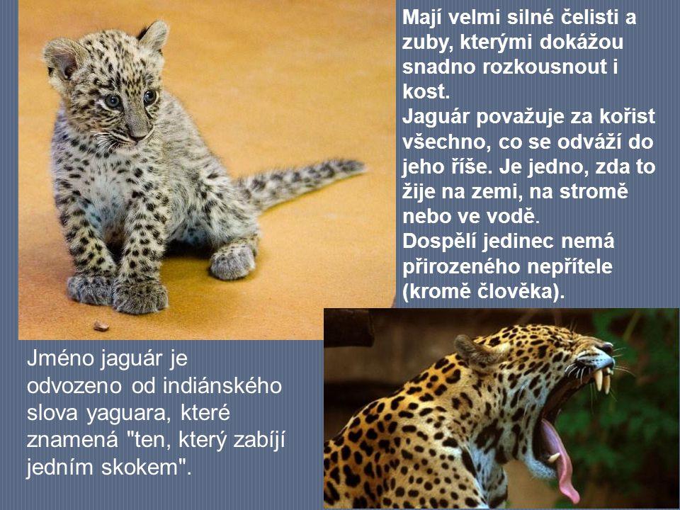 Mají velmi silné čelisti a zuby, kterými dokážou snadno rozkousnout i kost. Jaguár považuje za kořist všechno, co se odváží do jeho říše. Je jedno, zd