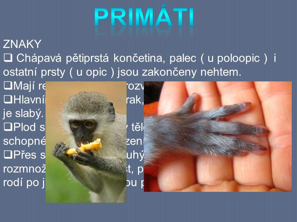ZNAKY  Chápavá pětiprstá končetina, palec ( u poloopic ) i ostatní prsty ( u opic ) jsou zakončeny nehtem.  Mají relativně velký a rozvinutý mozek.