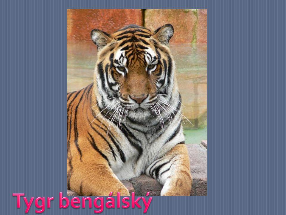 PODDRUHY TYGRA Tygr bengálský Nejpočetnější druh tygra - v přírodě přežívá asi 4000 jedinců.