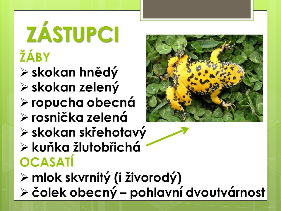 ZÁSTUPCI ŽÁBY  skokan hnědý  skokan zelený  ropucha obecná  rosnička zelená  skokan skřehotavý  kuňka žlutobřichá OCASATÍ  mlok skvrnitý (i živ