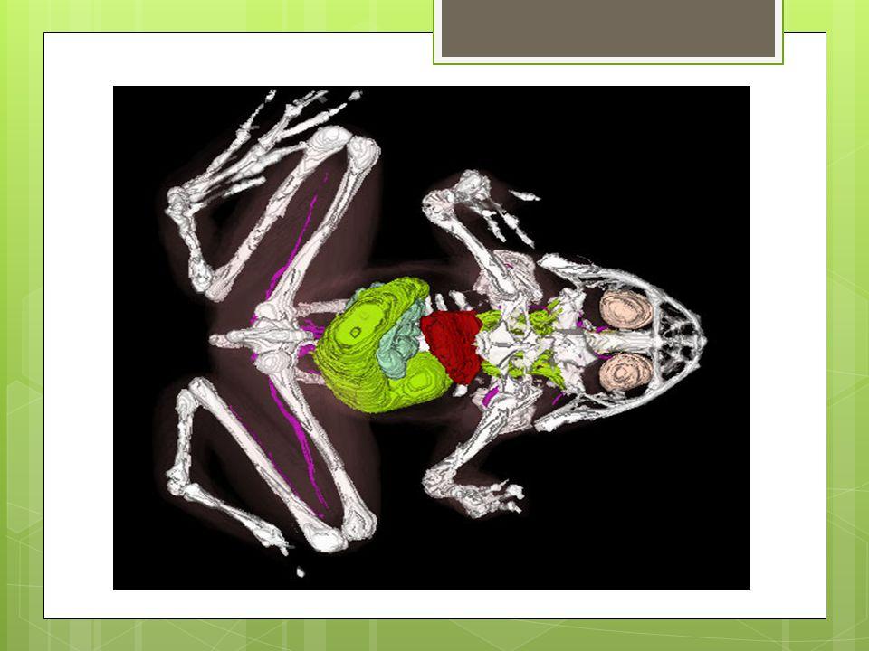 DS  dospělci  plícemi a kůží  v zimě jen kůží  pulci  žábramiNS  mozek, mícha, nervy