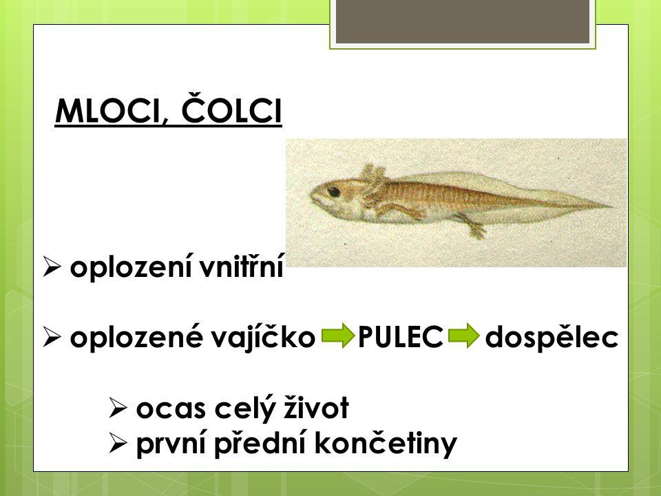 ZÁSTUPCI ŽÁBY  skokan hnědý  skokan zelený  ropucha obecná  rosnička zelená  skokan skřehotavý  kuňka žlutobřichá OCASATÍ  mlok skvrnitý (i živorodý)  čolek obecný – pohlavní dvoutvárnost