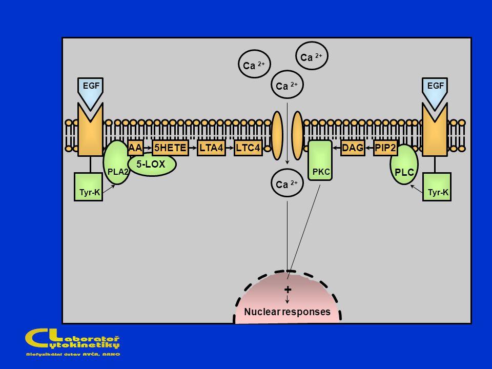 Ca 2+ AA5HETELTC4LTA4 PIP2DAG Tyr-K PLA2 5-LOX PKC PLC + Nuclear responses EGF