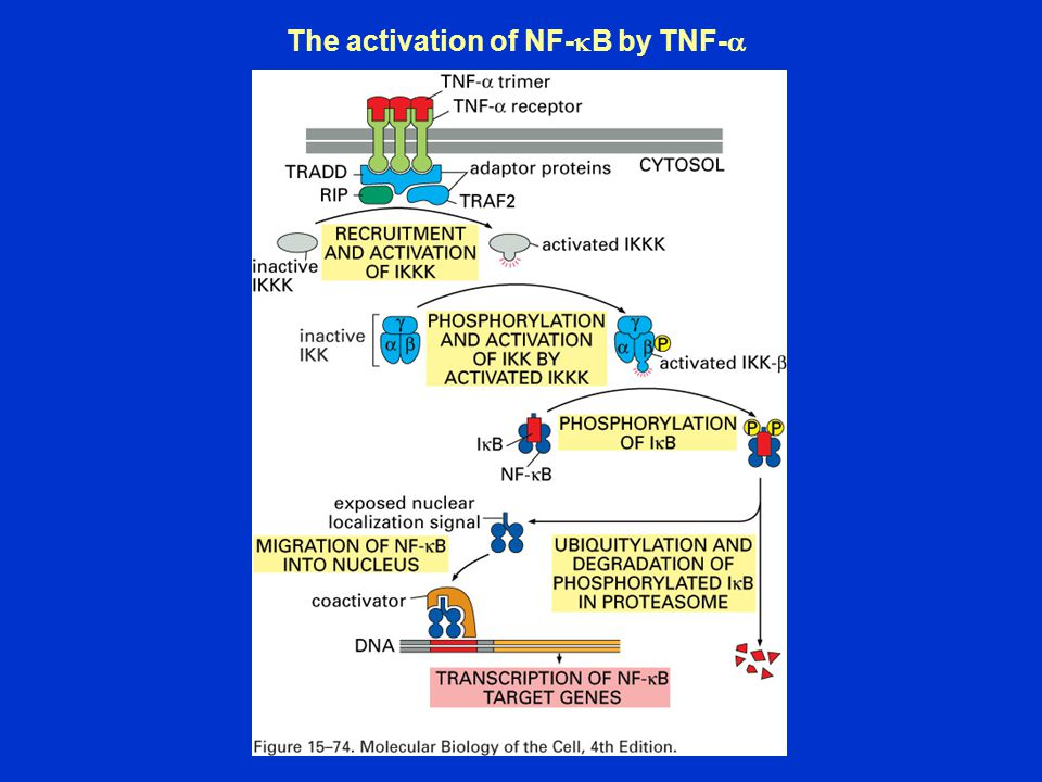 The activation of NF-  B by TNF- 