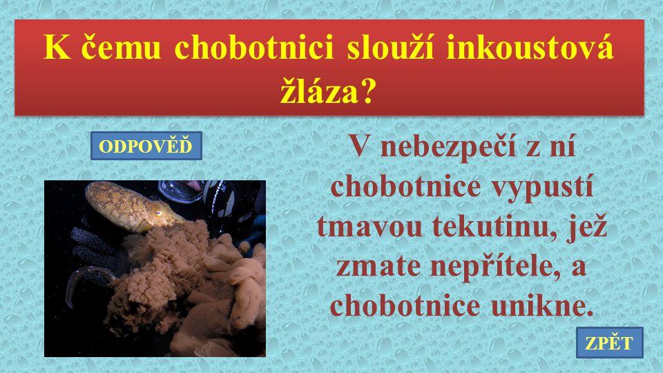 K čemu chobotnici slouží inkoustová žláza? V nebezpečí z ní chobotnice vypustí tmavou tekutinu, jež zmate nepřítele, a chobotnice unikne. ZPĚT ODPOVĚĎ