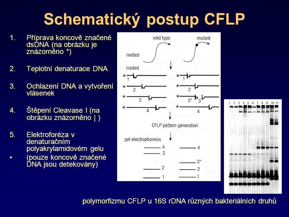 Schematický postup CFLP 1.Příprava koncově značené dsDNA (na obrázku je znázorněno *) 2.Teplotní denaturace DNA 3.Ochlazení DNA a vytvoření vlásenek 4