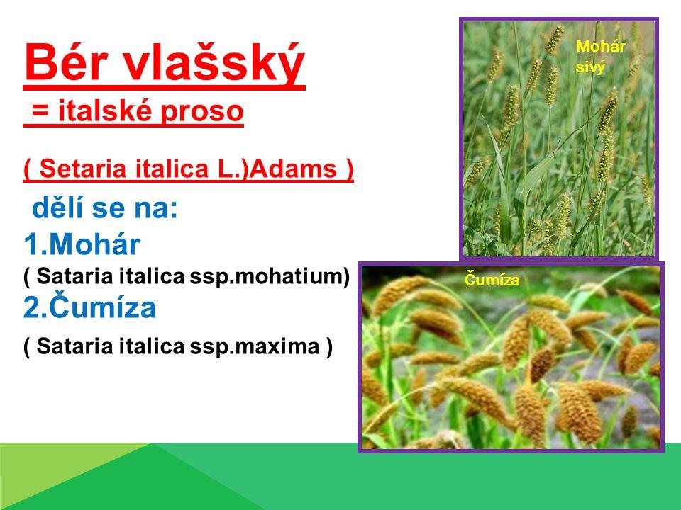 Bér vlašský = italské proso ( Setaria italica L.)Adams ) dělí se na: 1.Mohár ( Sataria italica ssp.mohatium) 2.Čumíza ( Sataria italica ssp.maxima ) Mohár sivý Čumíza