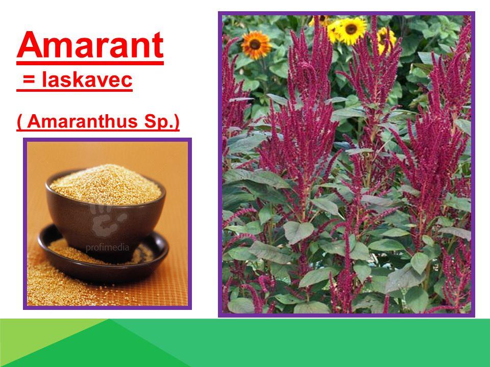 Amarant = laskavec ( Amaranthus Sp.) Čumíza
