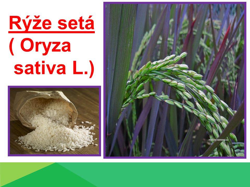 Rýže setá ( Oryza sativa L.)
