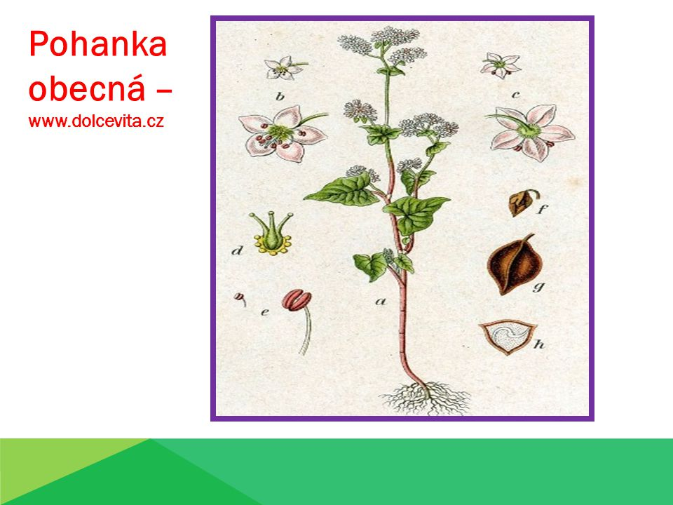 Pohanka obecná – www.dolcevita.cz