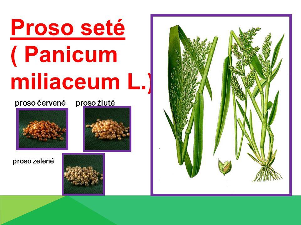 Proso seté ( Panicum miliaceum L.) proso červené proso žluté proso zelené