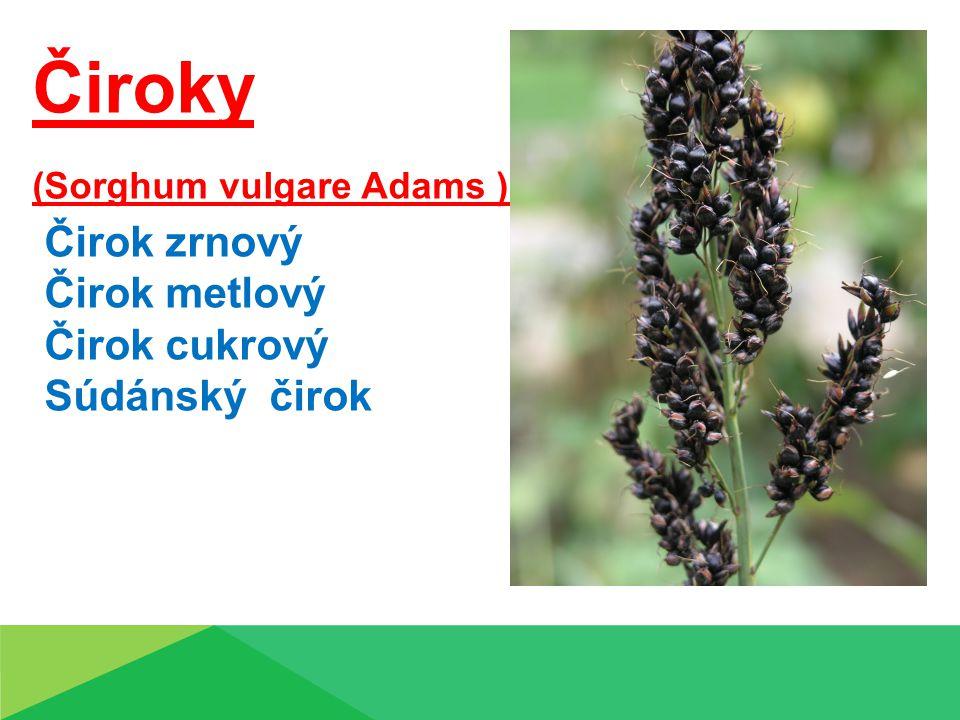 Čiroky (Sorghum vulgare Adams ) druhy: Čirok zrnový Čirok metlový Čirok cukrový Súdánský čirok