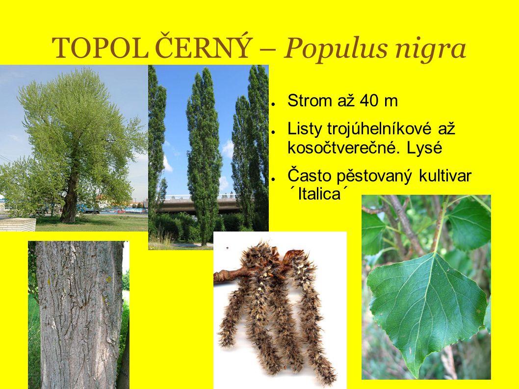TOPOL ČERNÝ – Populus nigra ● Strom až 40 m ● Listy trojúhelníkové až kosočtverečné.