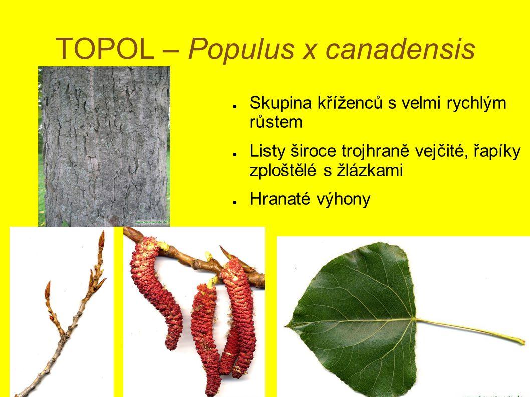 TOPOL – Populus x canadensis ● Skupina kříženců s velmi rychlým růstem ● Listy široce trojhraně vejčité, řapíky zploštělé s žlázkami ● Hranaté výhony