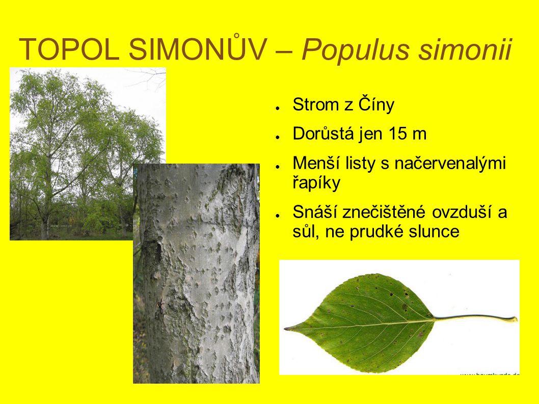 TOPOL SIMONŮV – Populus simonii ● Strom z Číny ● Dorůstá jen 15 m ● Menší listy s načervenalými řapíky ● Snáší znečištěné ovzduší a sůl, ne prudké slunce