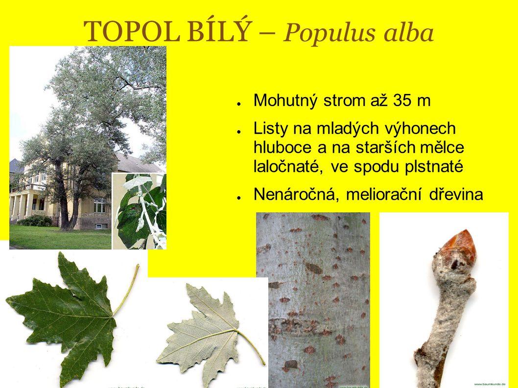 TOPOL BÍLÝ – Populus alba ● Mohutný strom až 35 m ● Listy na mladých výhonech hluboce a na starších mělce laločnaté, ve spodu plstnaté ● Nenáročná, meliorační dřevina