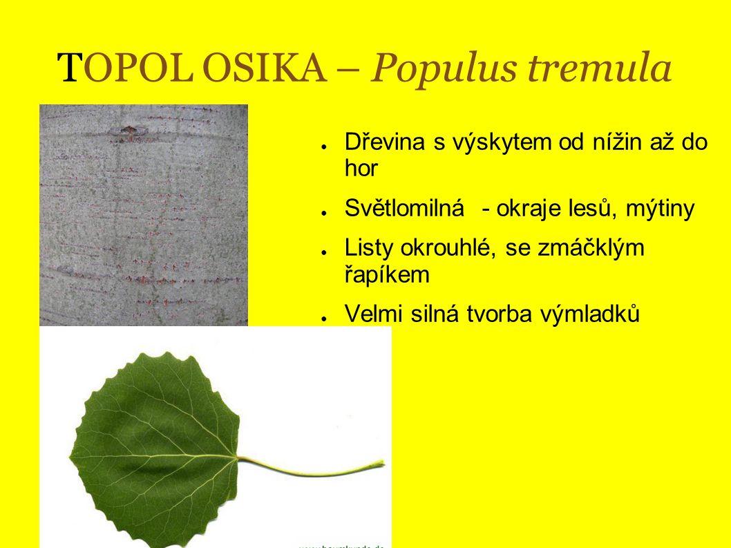TOPOL ŠEDÝ – Populus x canensen ● Kříženec t.
