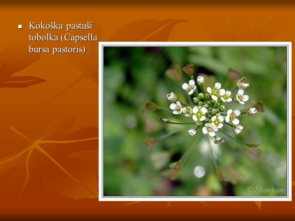 Kokoška pastuší tobolka (Capsella bursa pastoris) Kokoška pastuší tobolka (Capsella bursa pastoris)