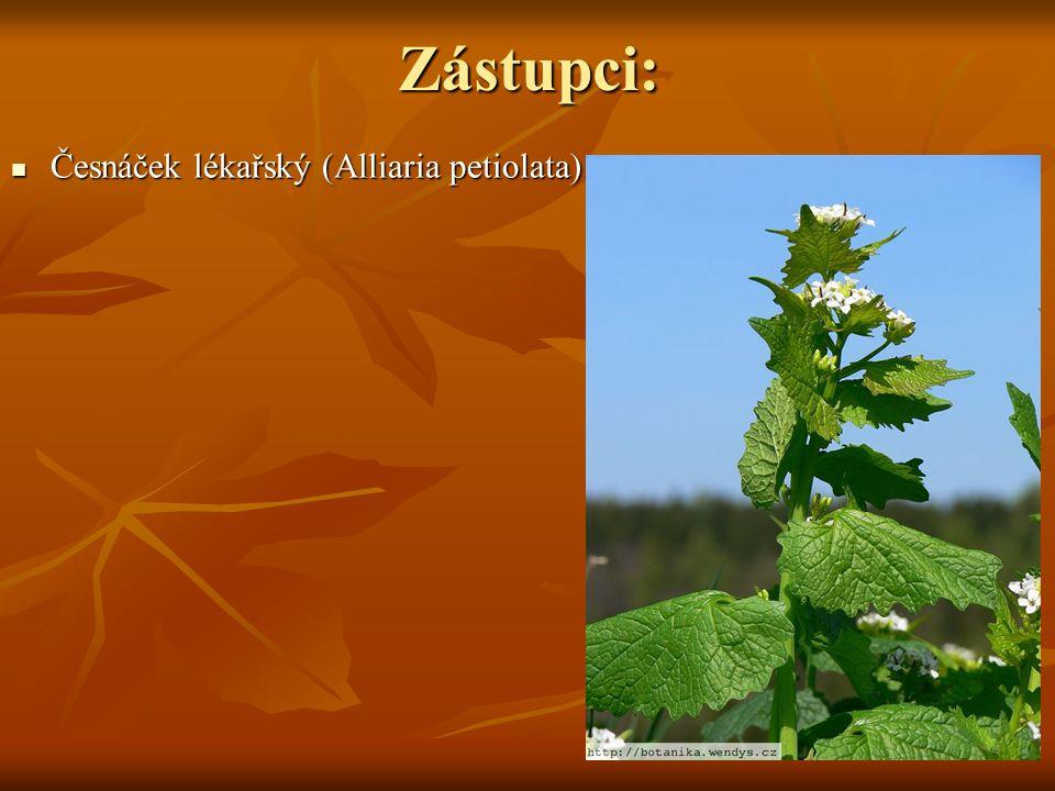 Zástupci: Česnáček lékařský (Alliaria petiolata) Česnáček lékařský (Alliaria petiolata)
