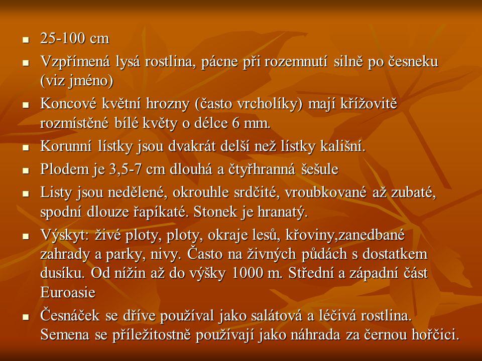 Hořčice polní (Sinapis arvensis) Hořčice polní (Sinapis arvensis)