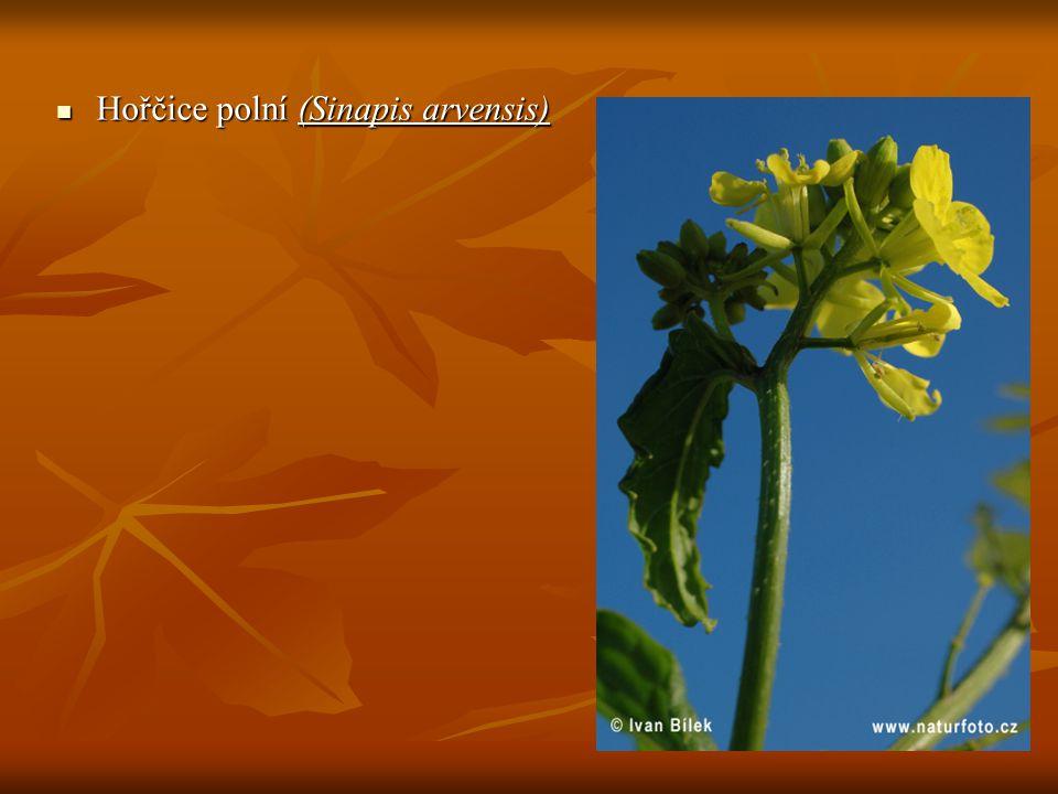 """Jednoletá řídce štětinatě chlupatá bylina vysoká 20-60 cm s přímou, nevětvenou nebo řídce větvenou lodyhou Jednoletá řídce štětinatě chlupatá bylina vysoká 20-60 cm s přímou, nevětvenou nebo řídce větvenou lodyhou dolní listy lyrovitě peřenoklané s velkým koncovým úkrojkem, horní listy nedělené dolní listy lyrovitě peřenoklané s velkým koncovým úkrojkem, horní listy nedělené květenství koncový hrozen, v mládí chocholičnatě nahloučený, za plodu prodloužený květenství koncový hrozen, v mládí chocholičnatě nahloučený, za plodu prodloužený květy čtyřčetné – """"křížaté , korunní lístky sytě sírově až citronově žluté, kališní bledě žlutozelené, rozestálé (podle čehož lze za květu hořčici snadno odlišit od velmi podobné ohnice, krerá má kališní lístky přitisklé: """"Ohnice ohnivě objímá, hořčice hořce rozjímá ) květy čtyřčetné – """"křížaté , korunní lístky sytě sírově až citronově žluté, kališní bledě žlutozelené, rozestálé (podle čehož lze za květu hořčici snadno odlišit od velmi podobné ohnice, krerá má kališní lístky přitisklé: """"Ohnice ohnivě objímá, hořčice hořce rozjímá ) plod je lysá nebo jen málo chlupatá šešule."""