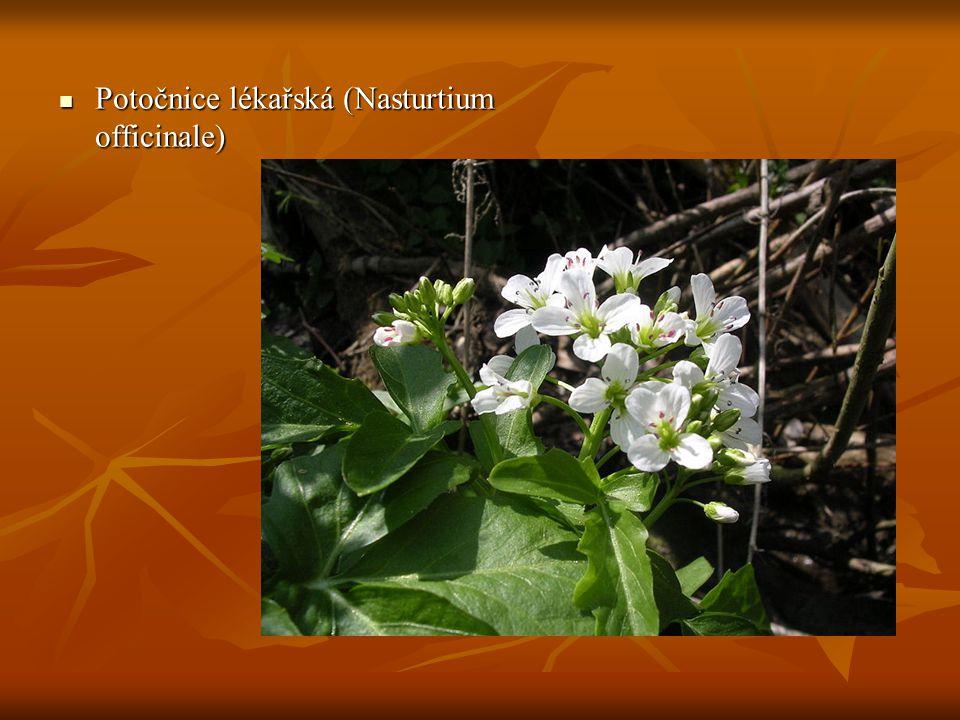 20-60(80) cm 20-60(80) cm Květy bílé ve vrcholíkově uspořádaných hroznech Květy bílé ve vrcholíkově uspořádaných hroznech Korunní lístky jsou kratší než 6 mm, prašníky žluté Korunní lístky jsou kratší než 6 mm, prašníky žluté Šešule tlustá, oblá, srpovitě ohnutá.