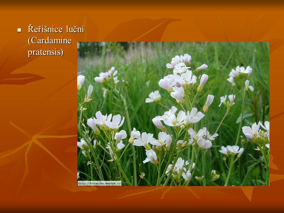 Řeřišnice luční (Cardamine pratensis) Řeřišnice luční (Cardamine pratensis)