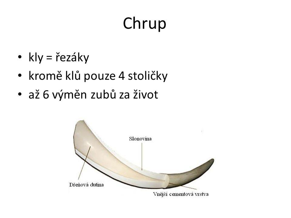 Chrup kly = řezáky kromě klů pouze 4 stoličky až 6 výměn zubů za život
