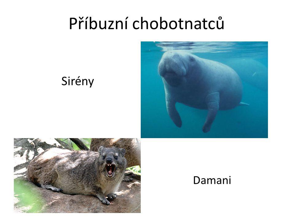 Příbuzní chobotnatců Sirény Damani