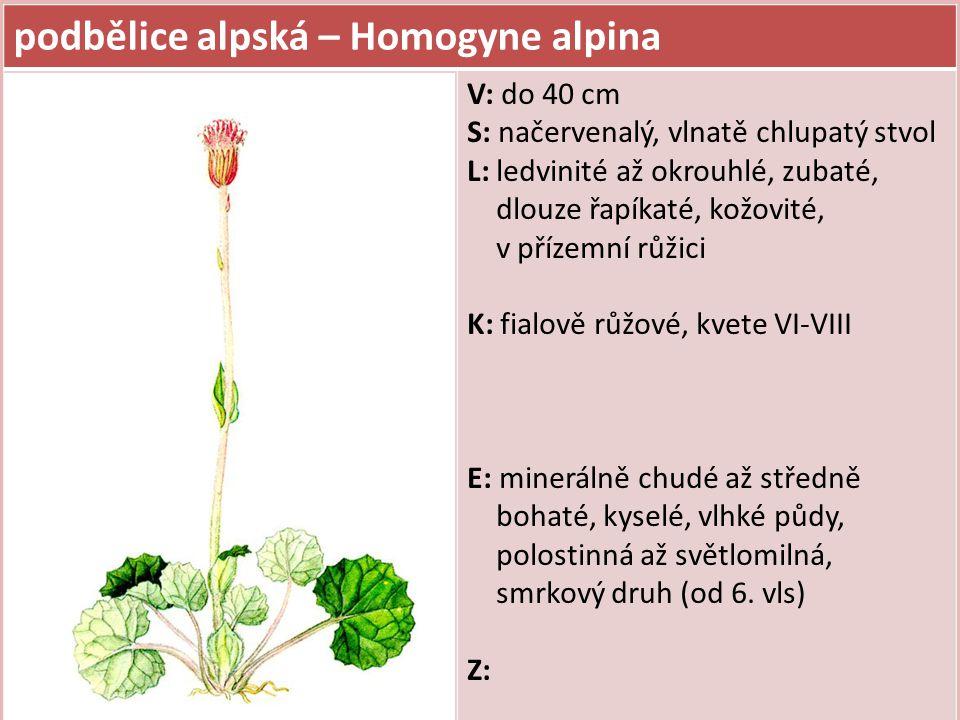 podbělice alpská – Homogyne alpina V: do 40 cm S: načervenalý, vlnatě chlupatý stvol L: ledvinité až okrouhlé, zubaté, dlouze řapíkaté, kožovité, v př