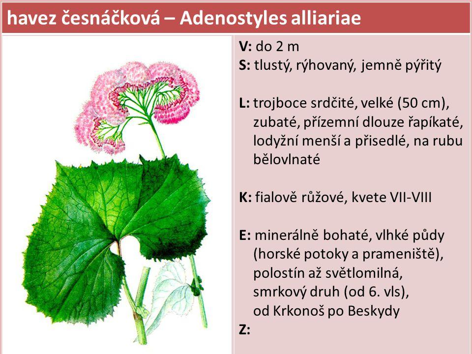 havez česnáčková – Adenostyles alliariae V: do 2 m S: tlustý, rýhovaný, jemně pýřitý L: trojboce srdčité, velké (50 cm), zubaté, přízemní dlouze řapík