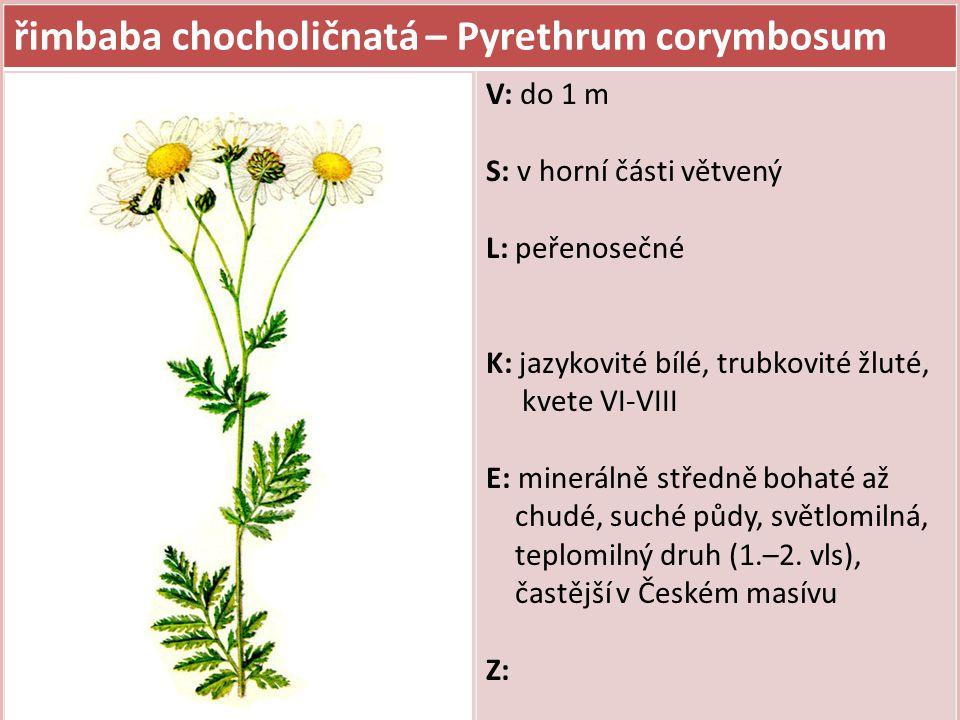 řimbaba chocholičnatá – Pyrethrum corymbosum V: do 1 m S: v horní části větvený L: peřenosečné K: jazykovité bílé, trubkovité žluté, kvete VI-VIII E: